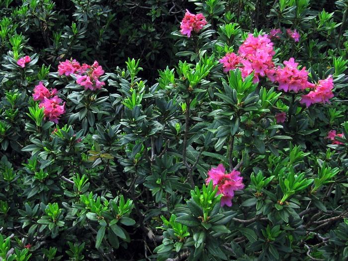 Alpska ruža - Rhododendron ferrugineum 124-alpska