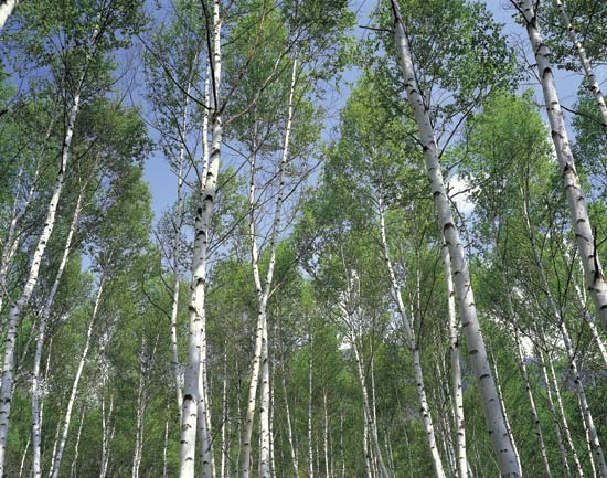 Briza brizovina jadika metla metlika obična breza žalosna breza