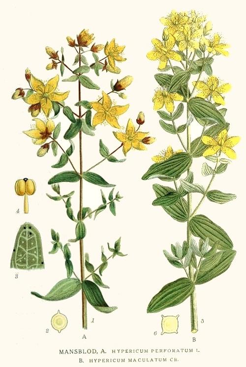 GOSPINA TRAVA - Ljekovito bilje