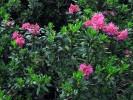 Alpska ruža